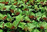 Seekay Perilla Bi - Farbe - Shiso - Japanisch Basil - Ca. 340 Samen - Gemüse/Kräuter